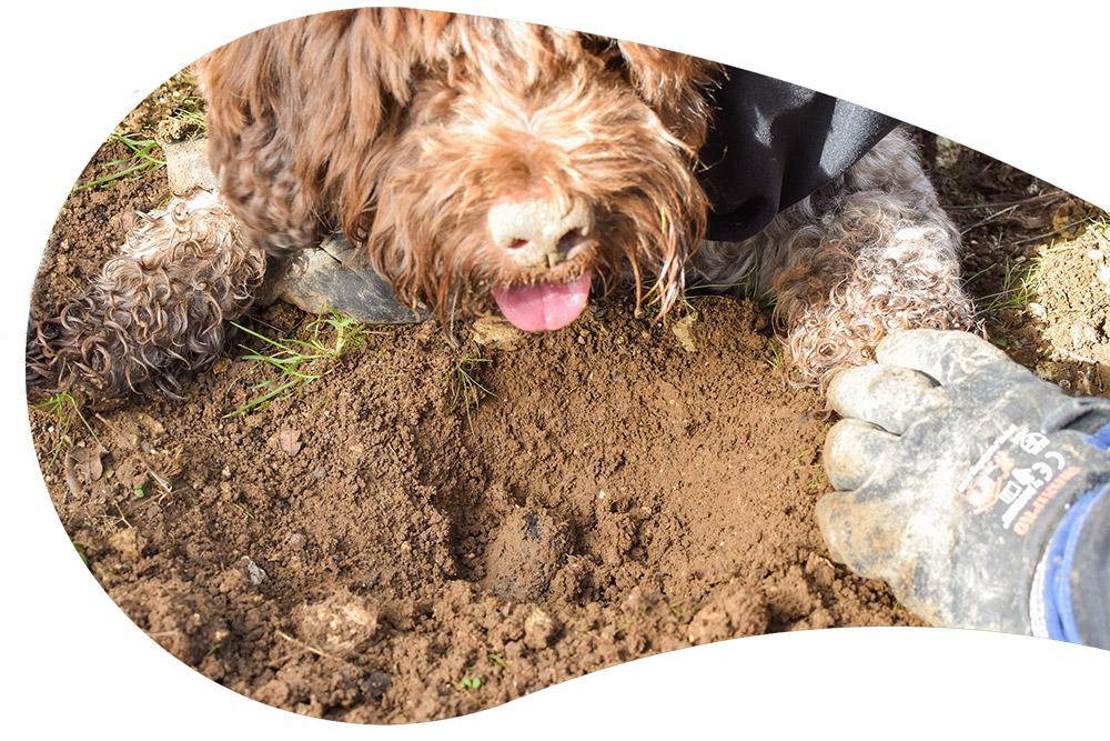 Découverte d'une truffe par un chien Lagotto